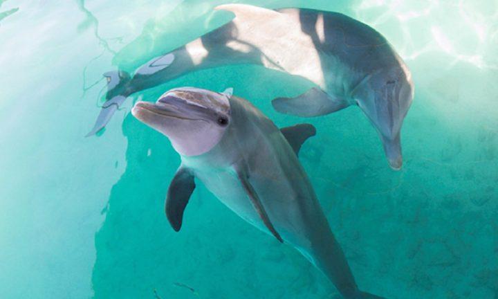 Nassau dolphins